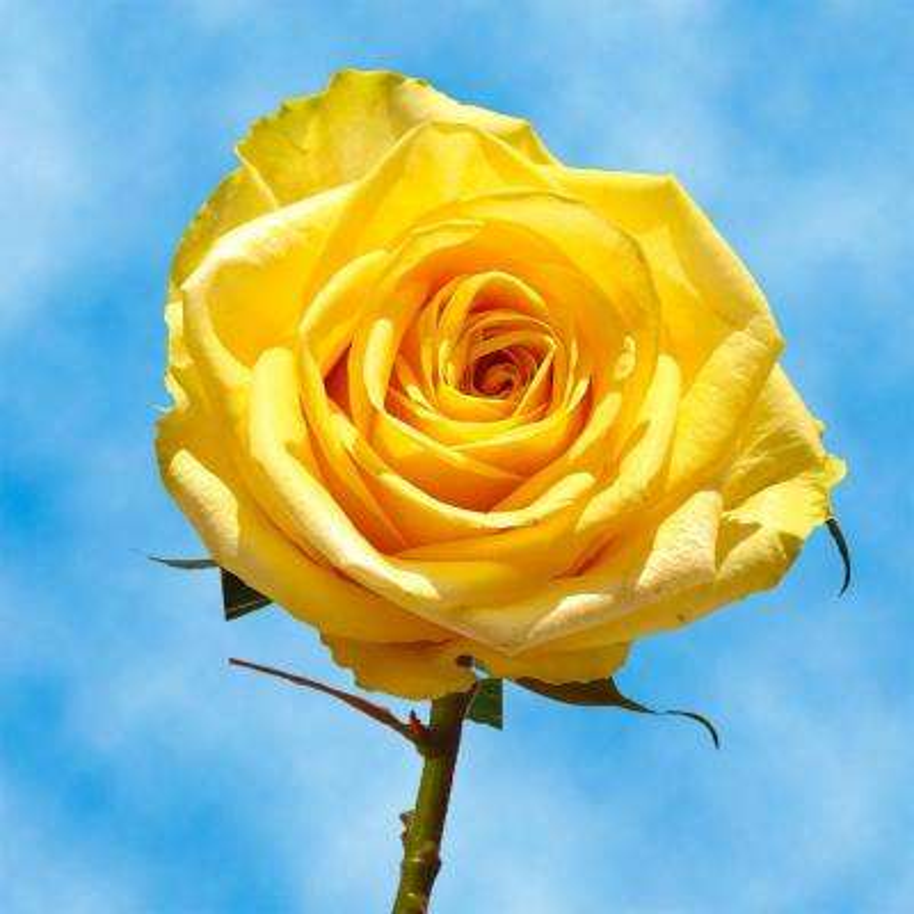 Fresh Yellow Roses (100 Stems)
