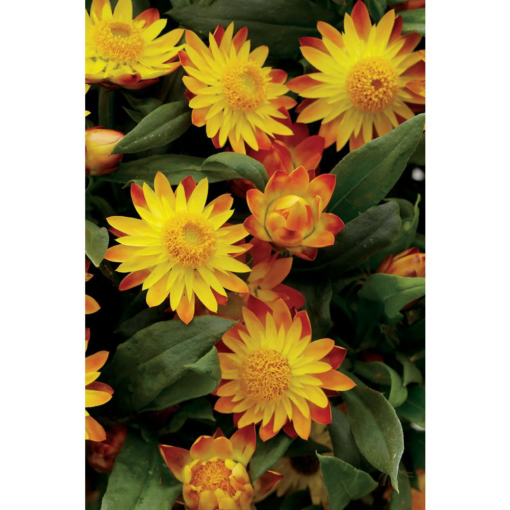 Proven winners sundaze flame strawflower bracteantha xerochrysum proven winners sundaze flame strawflower bracteantha xerochrysum live plant yellow and red flowers mightylinksfo
