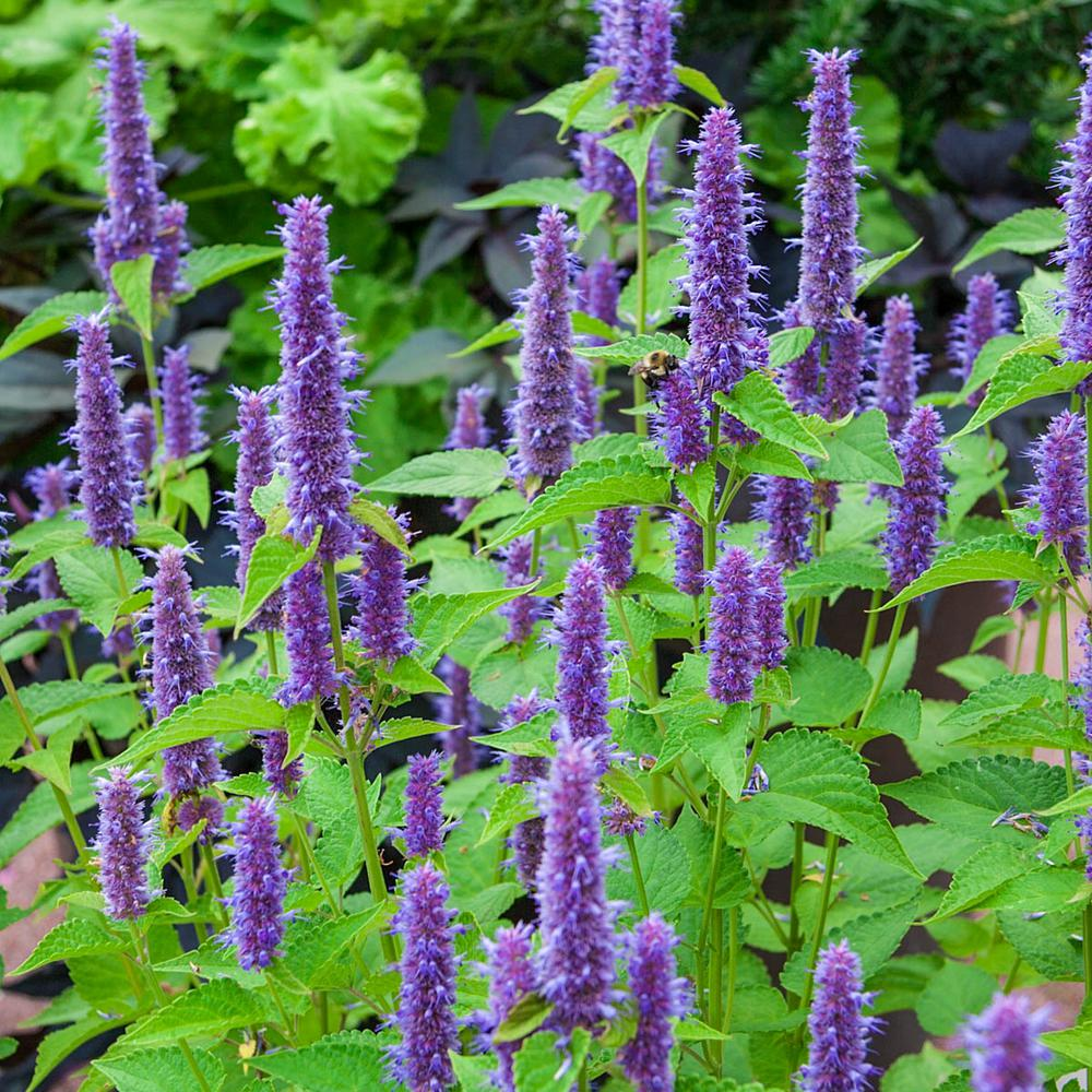 Gurney's 2 In. Pot Lavender Hyssop Herb Plant, Live Potted