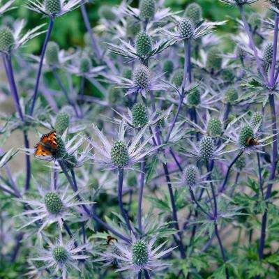 Sea Holly Water Wise Pollinator Roots (5-Set)