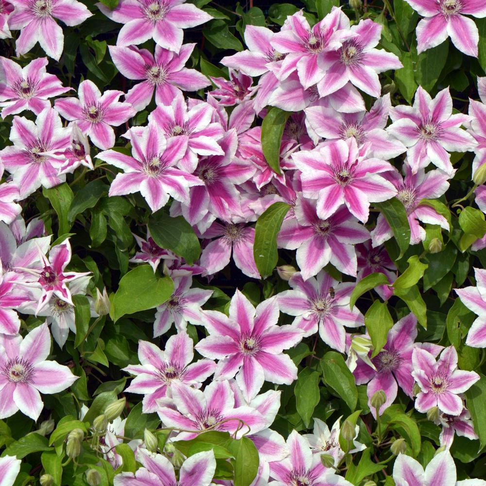 Spring Hill Nurseries Carnaby Clematis Live Bareroot Plant White