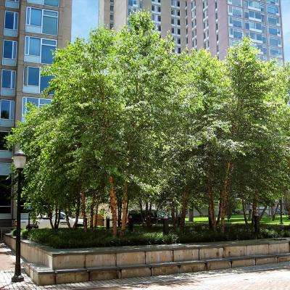 5 Gal. River Birch Shade Tree (Multi-Stem)