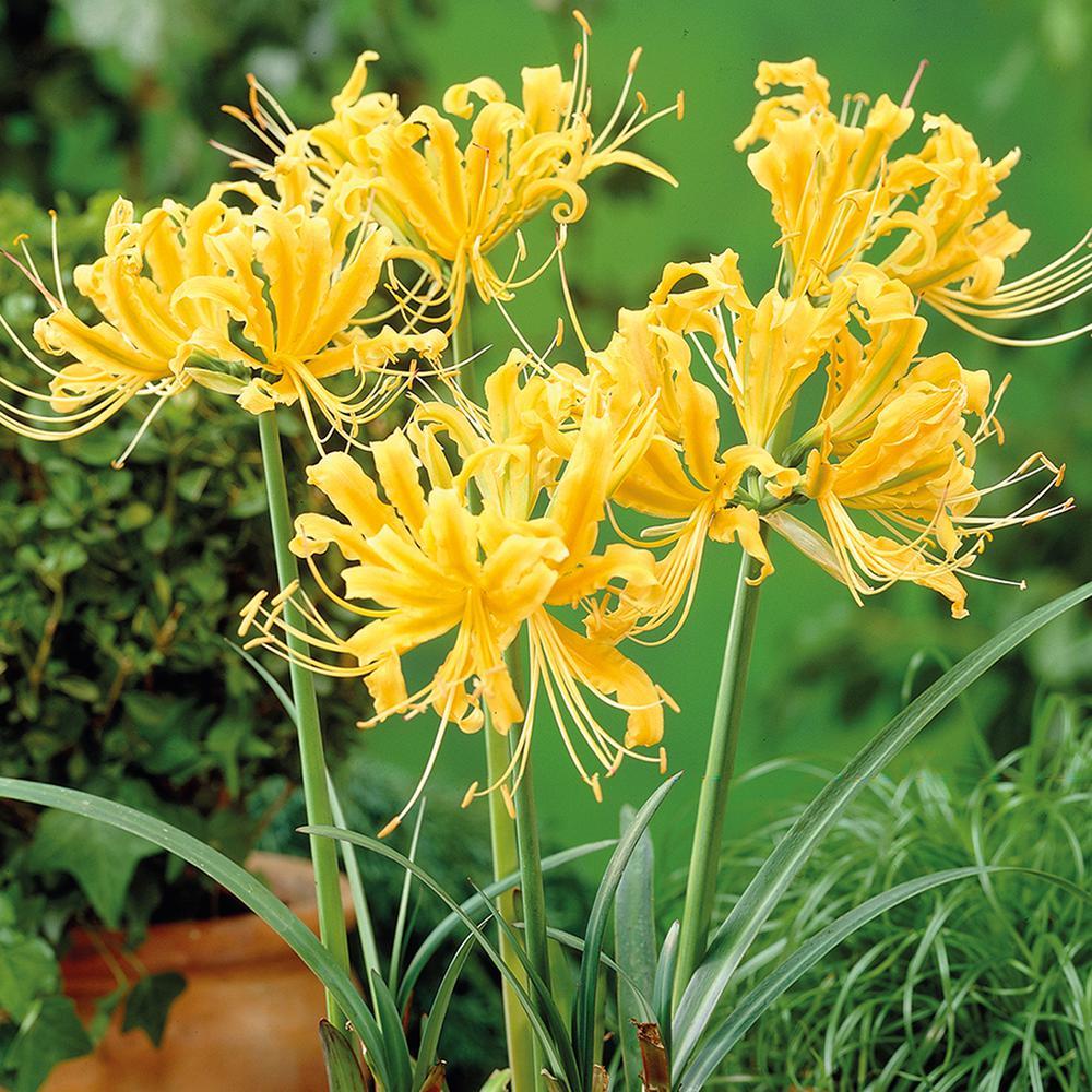 Yellow flower bulbs garden plants flowers the home depot lycoris bulbs mightylinksfo