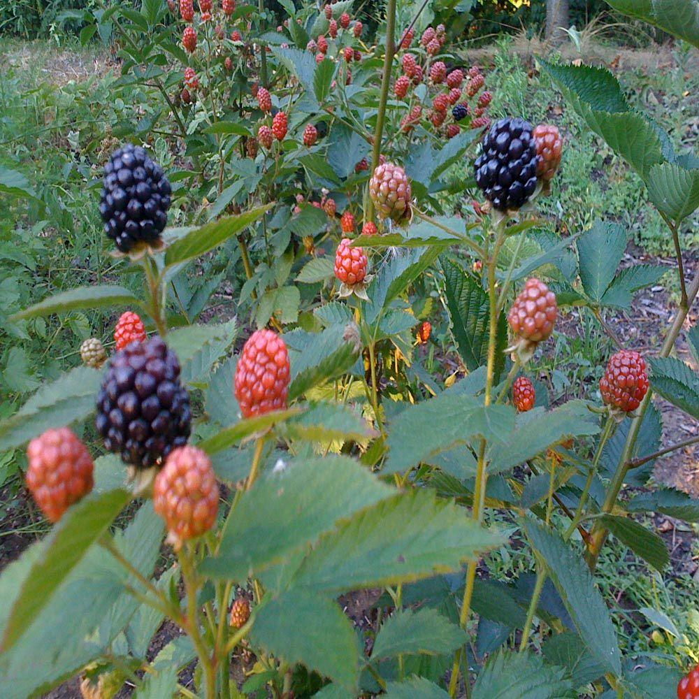 OnlinePlantCenter 12 in. Tall Arapaho Thorn-less Blackberry Plant