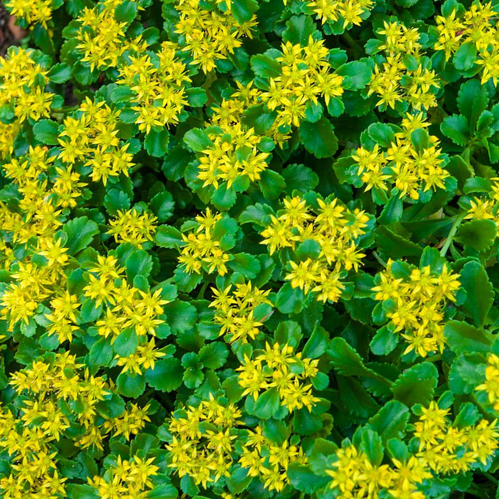 Spring Hill Nurseries 2 in. Pot Golden Creeping Sedum Live Perennial Plant Groundcover with Yellow Flowers with Green Foliage (1-Pack) Masses of tiny, star-shaped flowers adorn this quick-growing, low-spreading ground cover. Green leaves are succulent, fleshy, rounded and toothed. Sedum is good for erosion control on banks and tolerates dry soil conditions with ease. Space the plants 12 in. apart.