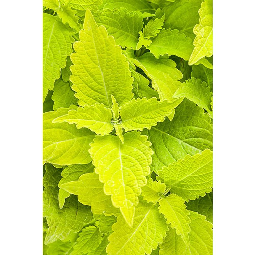 Proven Winners 4 Pack 4 25 In Grande Colorblaze Lime Time Coleus