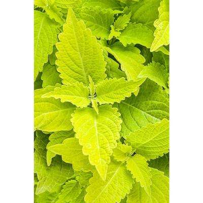 ColorBlaze Lime Time Coleus (Solenostemon) Live Plant, Lime Green Foliage, 4.25 in. Grande, 4-pack