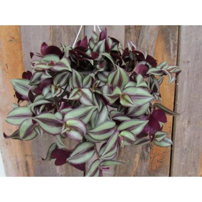 1.8 Gal. Wandering Jew Tradescantia Plant in 11 in. Hanging Basket