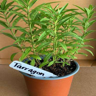 5.5 in. French Tarragon Culinary Herb Plant