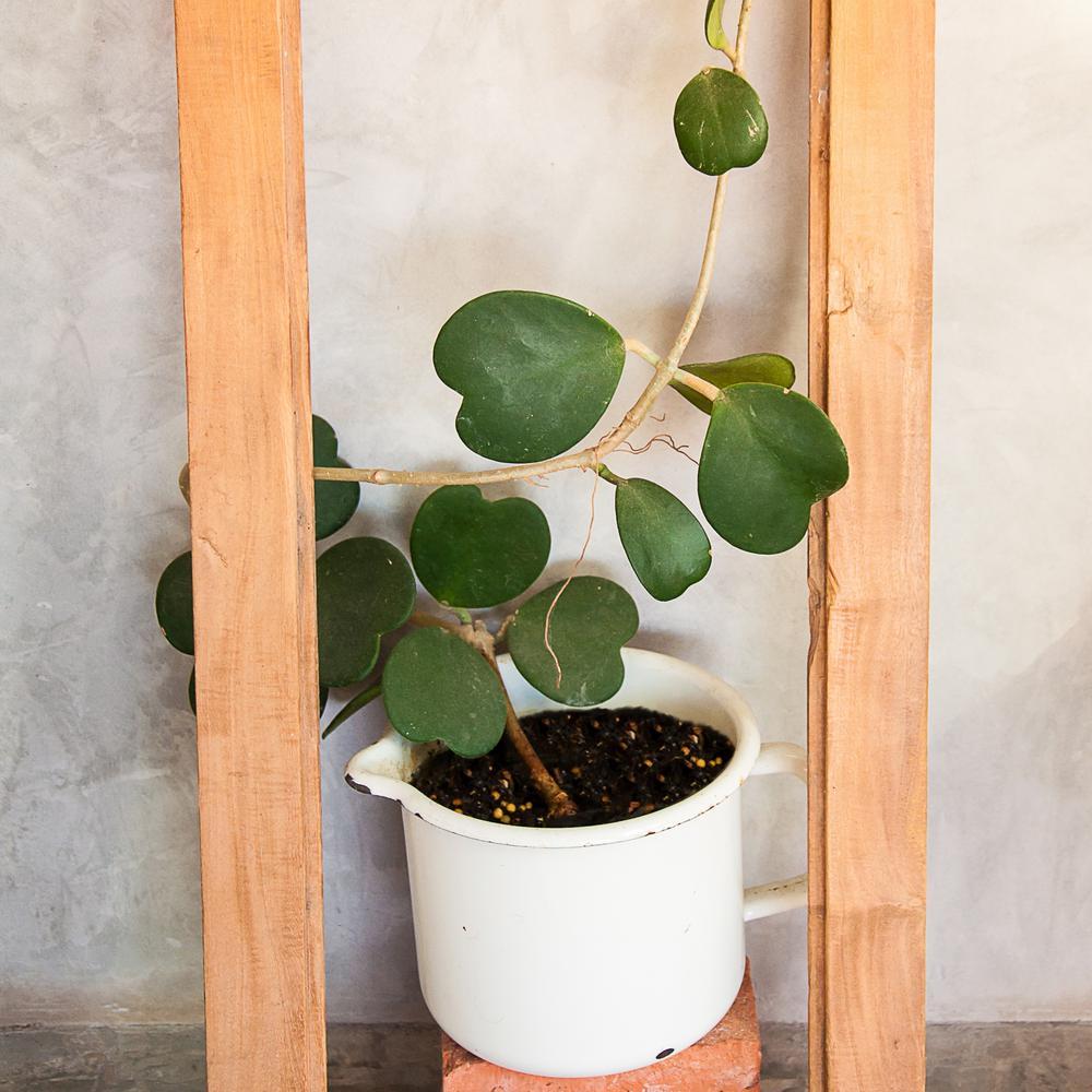 4 in. Hoya Heart Plant (3-Pack)