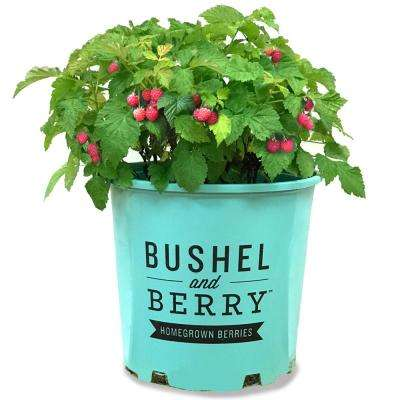 2 Gal. Raspberry Shortcake Bush 1-Live Potted Plant
