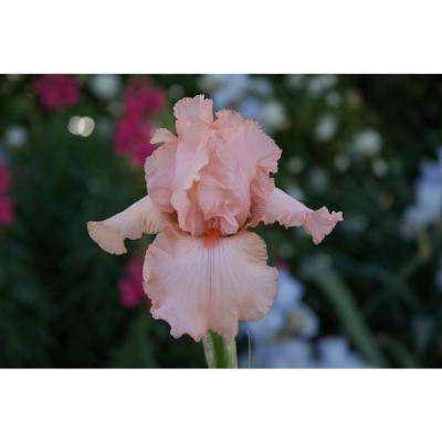 Peggy Sue Reblooming Iris Light Pink Flowers Live Bareroot Plant