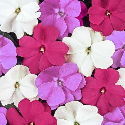 New Guinea Impatiens Divine Mystic Flower Seed Mixture (15 Seed Packet)