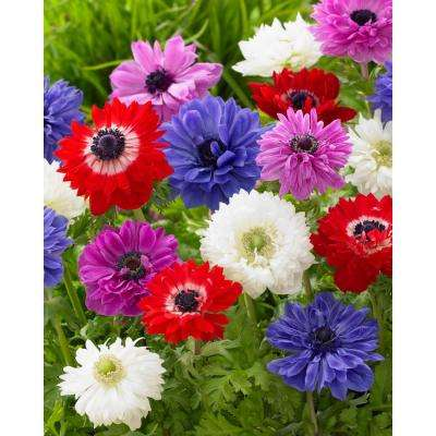 Anemone Double St. Brigid Mixed (Pack of 25)