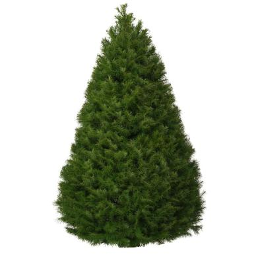 7.5 ft. Freshly Cut Douglas Fir Live Christmas Tree (Real, Natural, Oregon-Grown)