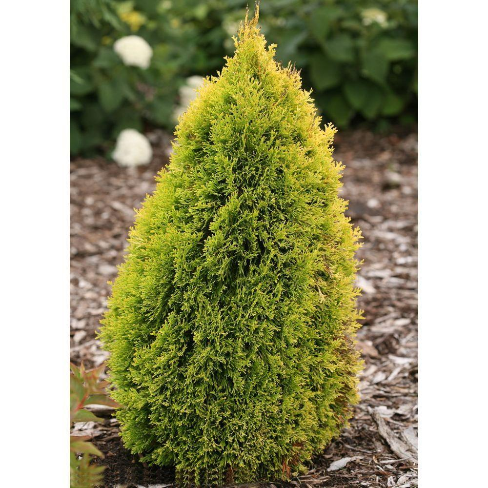 Proven Winners 4.5 in. Qt. Filip's Magic Moment Arborvitae (Thuja) Live Evergreen Shrub