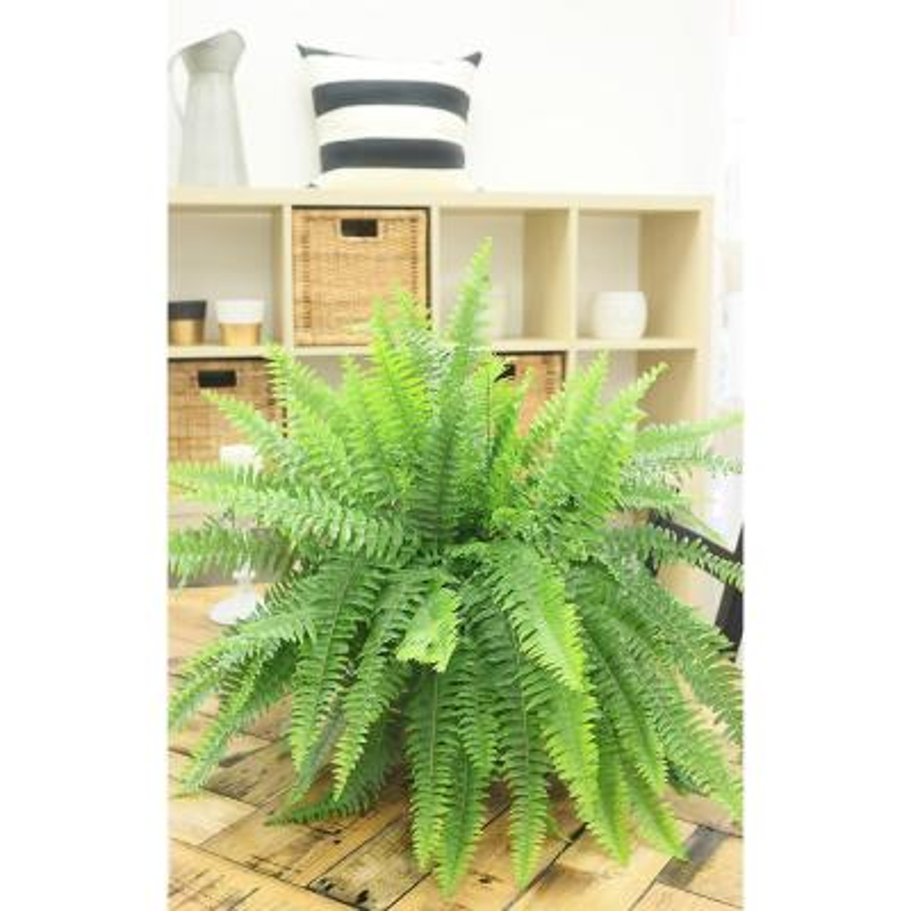 Boston Fern Plant in 10 in. Grower Pot (2-Pack)