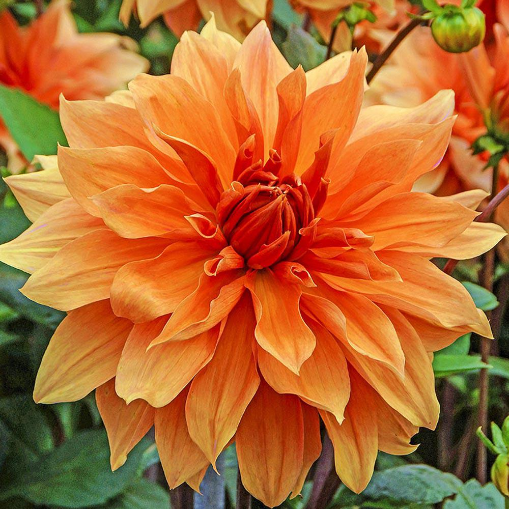 Brecks Babylon Bronze Dahlia Bulb 1 Pack 72578 The Home Depot
