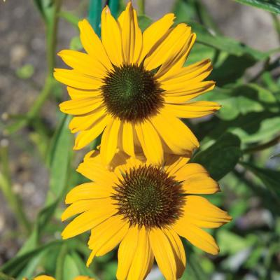 2.5 Qt. Sombrero Lemon Yellow Coneflower Plant