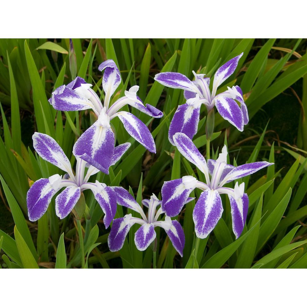 Premium Series Pond Marginal Iris Laevigata Mottled Beauty Kit