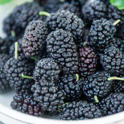 Black Berries Mulberry Bush (Morus) Live Bareroot Fruiting Plant (1-Pack)