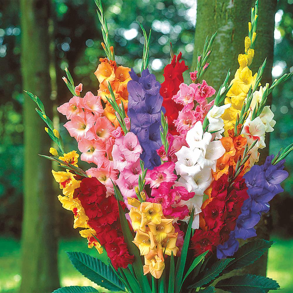 Van Bourgondien Gladiolus Mixed Bulbs 100 Pack 01210