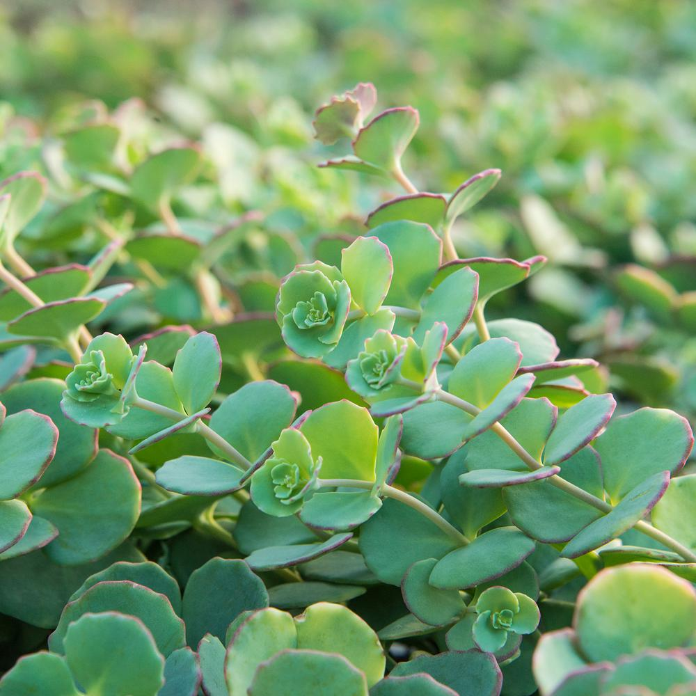 Spring Hill Nurseries 3 In Pot Blue Creeping Sedum Ground Cover With Blue Green Foliage Edged In Pink Live Perennial Plant 1 Pack