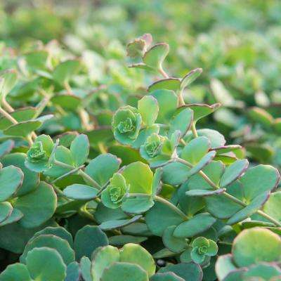 3 in. Pot Blue Creeping Sedum Ground Cover with Blue/Green Foliage Edged in Pink Live Perennial Plant (1-Pack)