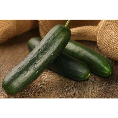 4.25 in. Grande Proven Selections Straight Eight Cucumber Live Plant Vegetable (Pack of 4)