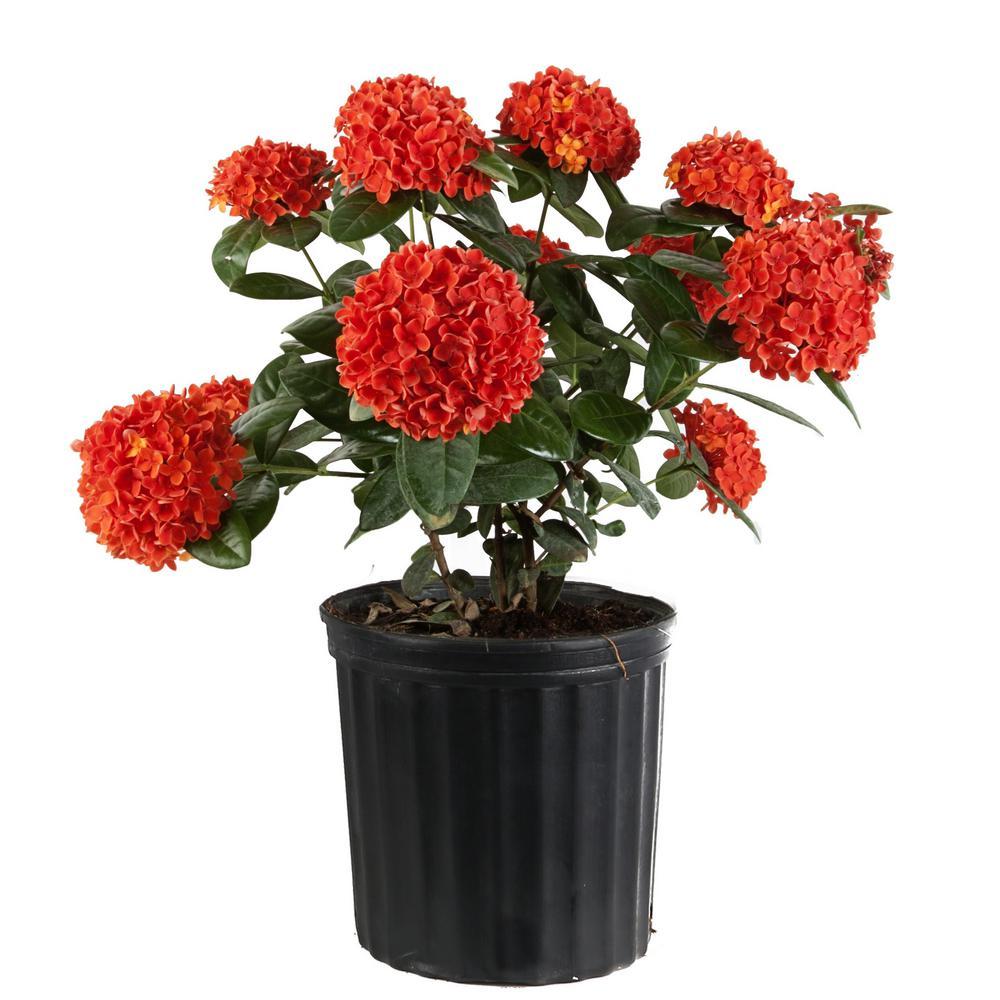 Costa Farms 2 Gal Orange Blooming Ixora Outdoor Plant In Grower S Pot 10ixoraorange The Home Depot