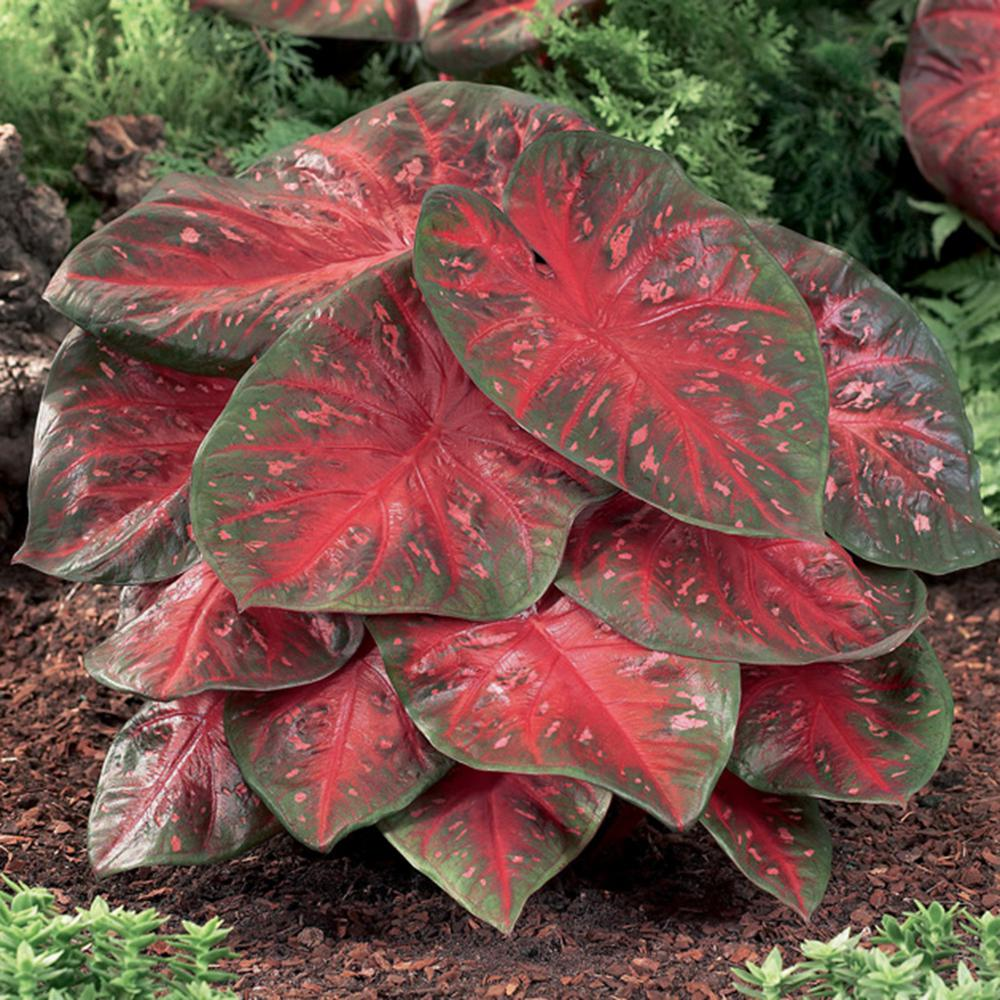 Van Zyverden Caladiums Fancy Leaf Red Flash Bulbs Set Of 6 11171