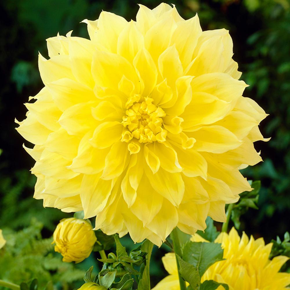 Dahlia yellow flower bulbs garden plants flowers the home dahlias kelvin floodlight bulbs set of 5 mightylinksfo