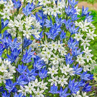 Tritelaia Cluster Lily Brodiaea Bulbs Mixture (100-Pack)