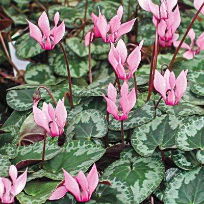 Red and Pink Colored Hardy Cyclamen Mixture Flowers Bulb (3-Pack)