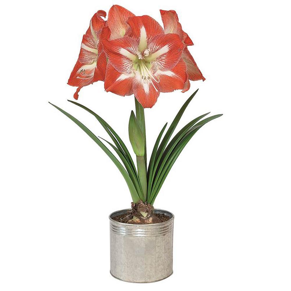 Amaryllis Minerva Bulb Grow Kit in Metal Planter