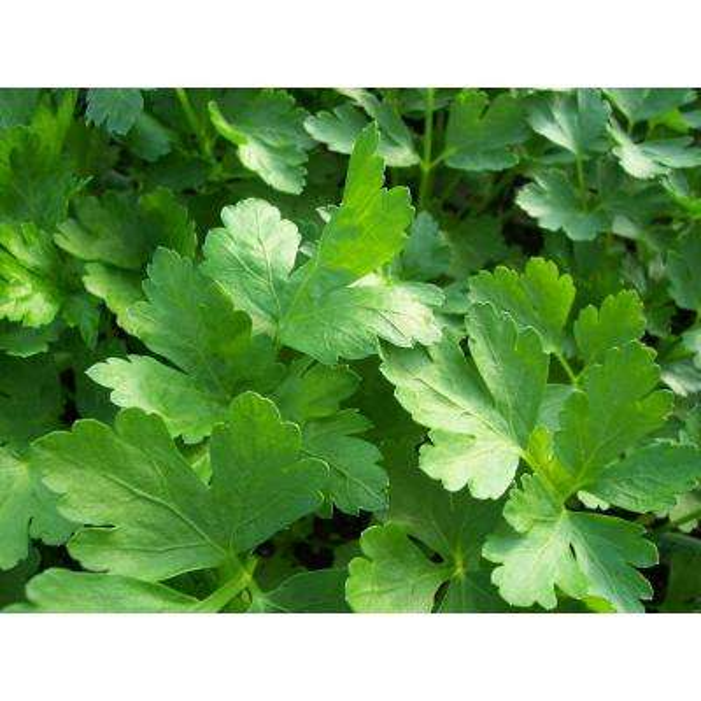 Flat Leaf Parsley, Live Plant, Herb, 4.25 in. Grande