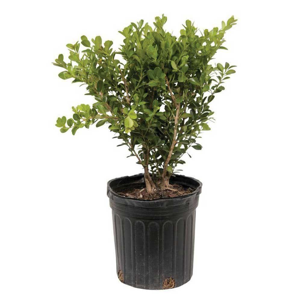 2.5 Qt. Japanese Boxwood, Live Shrub Plant, Glossy Light Green Foliage