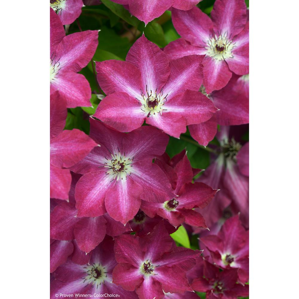 Proven Winners 3 Gal. Viva Polonia (Clematis) Live Shrub, Red ...