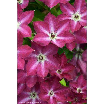 1 Gal. Viva Polonia (Clematis) Live Shrub, Red Flowers with a White Star