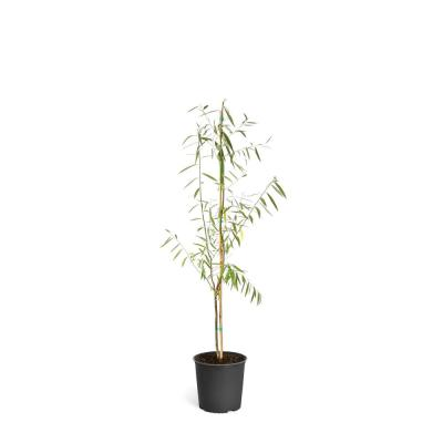 2 qt. Deciduous Weeping Willow Shade Trees