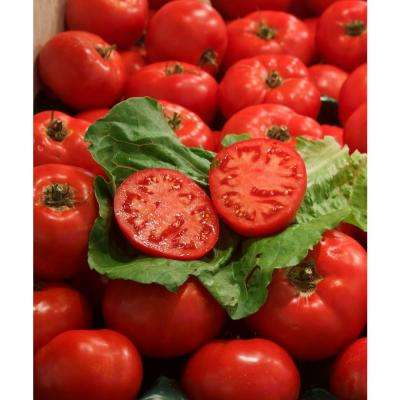 4.25 in. Grande Proven Selections First Lady II Tomato Live Plant Vegetable (Pack of 4)