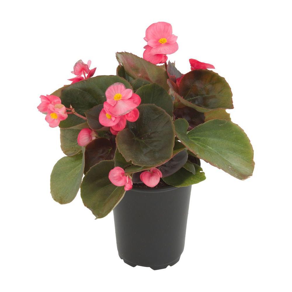 4.5 in. Begonia Bronze Leaf Pink (3-Plants)