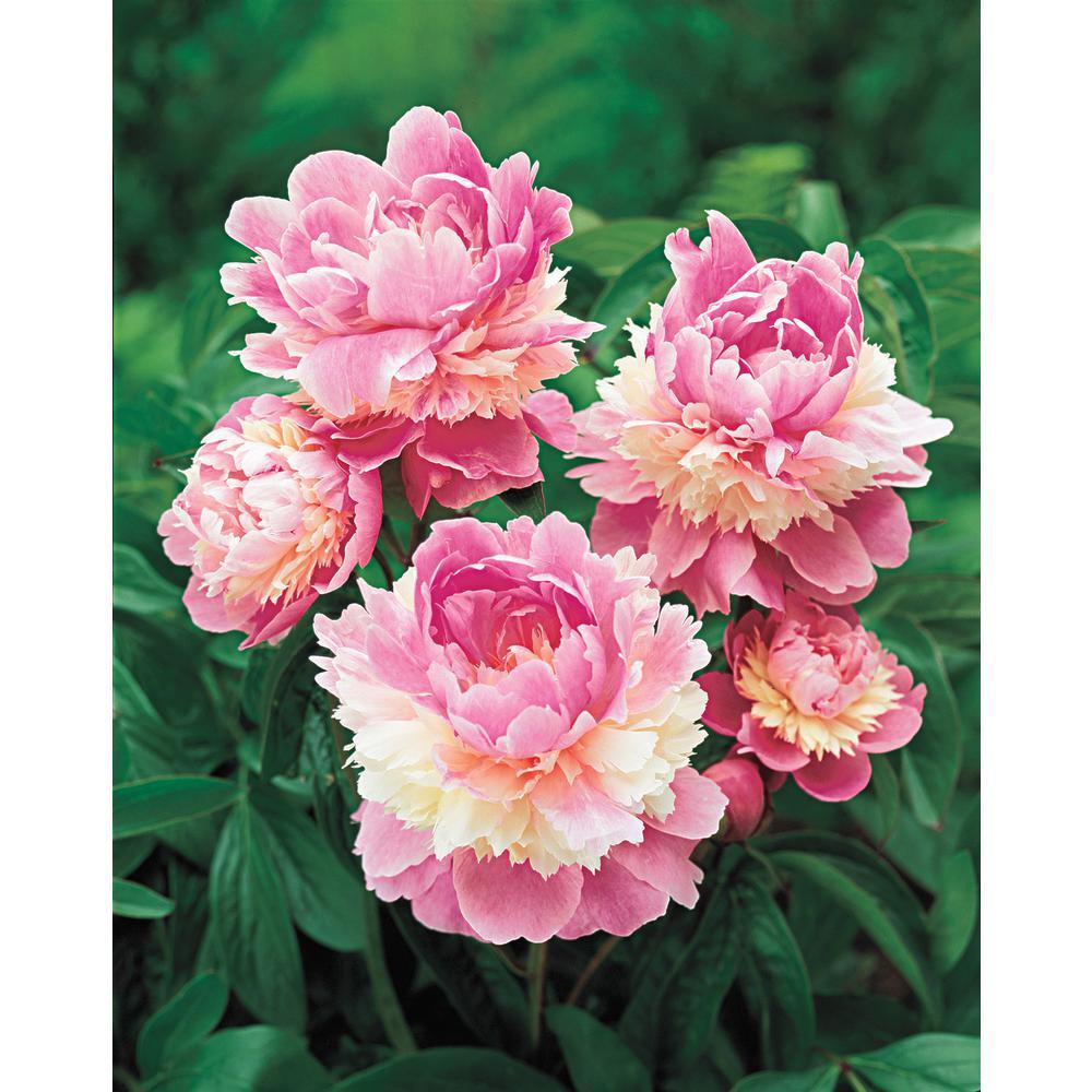 Sorbet Peony, Live Bareroot Plant, Pink Flowering Perennial (1-Pack)