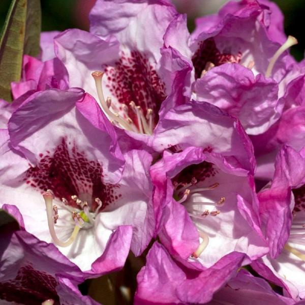 2 Gal. Radiance Southgate Rhododendron, Live Evergreen Shrub, Deep Lavender Buds open to Light Purple Blooms