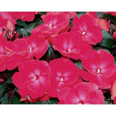 Infinity Cherry Red (New Guinea Impatiens) Live Plant Pink Flowers 4.25 in. Grande (4-Pack)