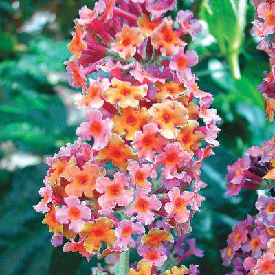 Kaleidoscope Butterfly Bush Potted Plant