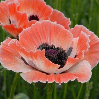 Peach and White Carnival Poppy Roots (3-Pack)