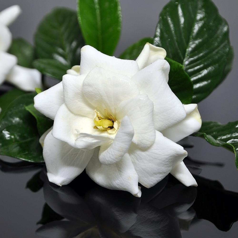 2.5 qt. Gardenia Frostproof Flowering Shrub with White Flowers
