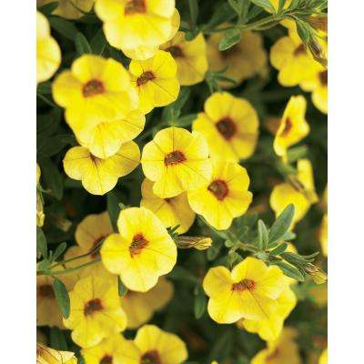 Superbells Saffron (Calibrachoa) Live Plant, Yellow Flowers, 4.25 in. Grande, 4-pack
