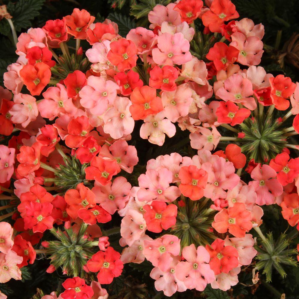 Superbena Royale Peachy Keen (Verbena) Live Plant, Peach-Orange Flowers, 4.25 in. Grande